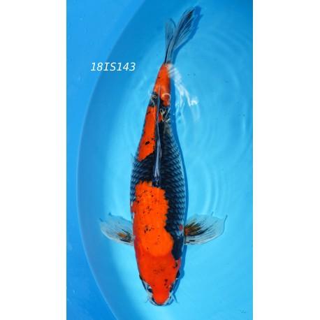 NISAI GOSHIKI SELECTION 34 CM DE CHEZ IGARASHI SEIKI REF 17IS143