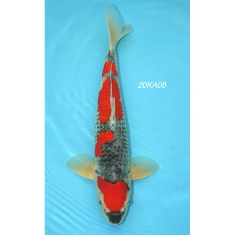 CARPE KOI SMALL SANSAI GOSHIKI  MALE 45 CM DE CHEZ KANNO REF20KA08
